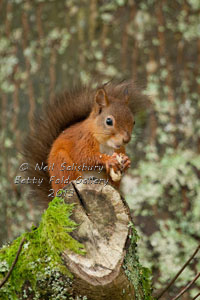 Red Squirrels at Betty Fold Hawkshead Cumbria