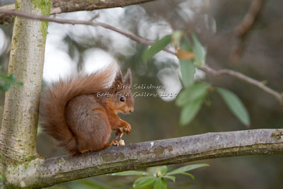 Red Squirrel Images by Neil Salisbury Betty Fold Gallery Hawkshead