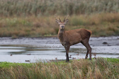 Red Stags by Neil Salisbury of Hawkshead Cumbria