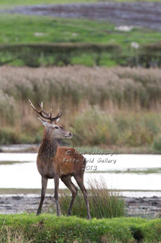 Red Deer images by Betty Fold Gallery