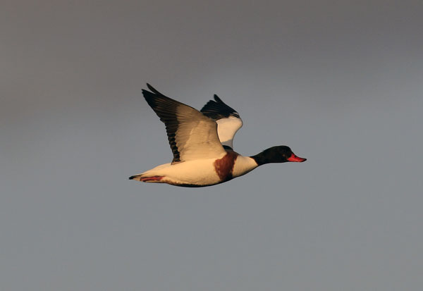 Wildfowl images by Betty Fold Gallery