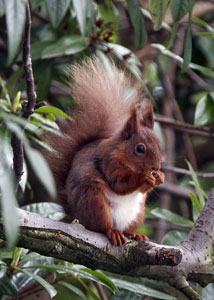 Red Squirrel photography by Betty Fold Gallery