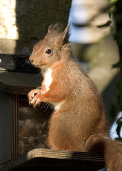 Red Squirrel images by Neil Salisbury