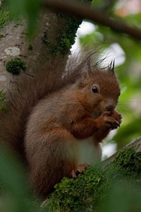 Red Squirrel Photographs by Betty Fold Gallery