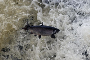 Salmon Photographs by Betty Fold Gallery