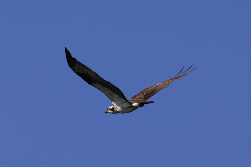 Osprey images by Betty Fold Gallery
