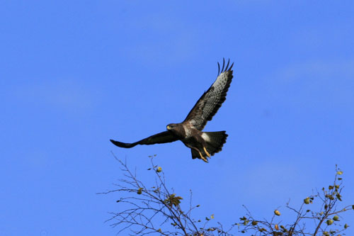Buzzard images by Neil Salisbury