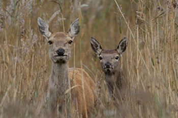 Red Deer photography by Betty Fold Gallery
