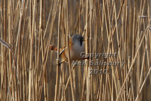 Bearded Tit Photographs by Betty Fold Gallery