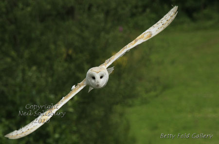 Barn Owl photographs by Betty Fold Gallery