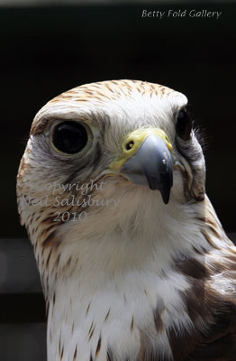 Saker Falcon photographs by Betty Fold Gallery