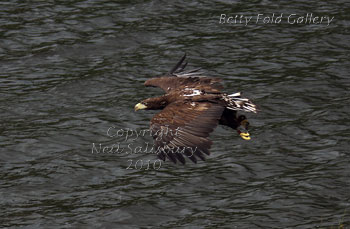 Sea Eagle photographs by Betty Fold Gallery