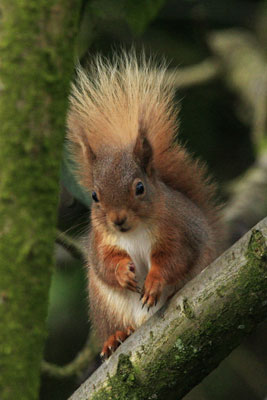 Red Squirrel pictures by Betty Fold Gallery