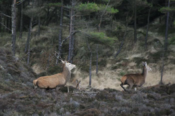 Red Deer in Grizedale Forest by Betty Fold Gallery