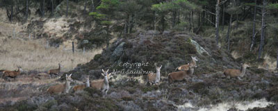 Red Deer in the Lake District by Betty Fold Gallery