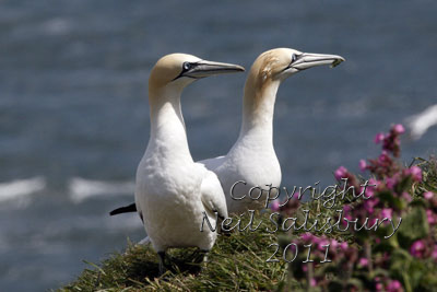 Gannet photography by Betty Fold Gallery