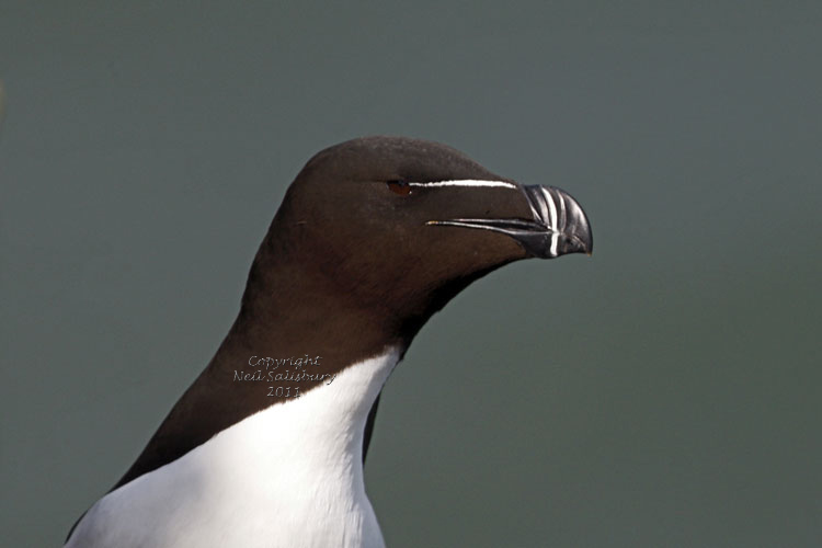 Razorbill pictures by Betty Fold Gallery